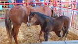 Potrillo y yegua en una exposición de ganado en un corral con paja - 221408789