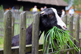 Koza zjada soczystą, zieloną trawę - 221412554
