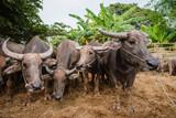 thai buffalo in farm