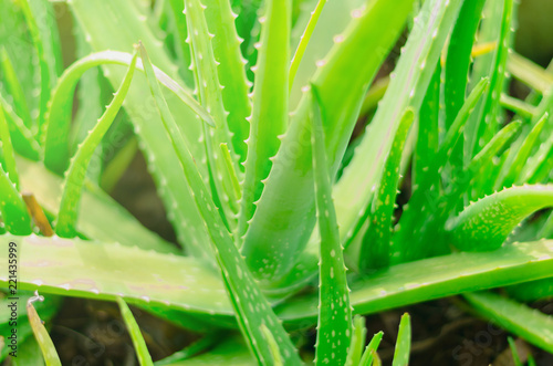 Leinwandbild Motiv Aloe vera,Lilium,close up of green leaves, Aloe vera is a very useful herbal medicine for skin care and hair care that can be used as treatment.