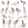 collage white turkey isolated on white background