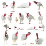 collage white turkey isolated on white background - 221444931