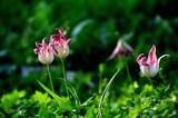 Fototapeta Tulips - Tulipany © responsible_m