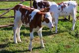 Young cows on a mountain pasture, Pieniny Mountains, Poland