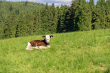 A cow on a mountain pasture, Pieniny Mountains, Poland