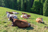 Cows on a mountain pasture, Pieniny Mountains, Poland