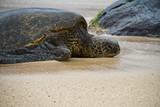 An endangered Hawaiian green sea turtle resting on a beach on Oahu. - 221455717