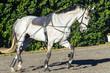 Horse Exercising Sand Arena Closeup