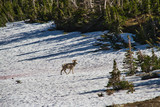 A Bighorn Sheep, otherwise known as a ram, on a snow field in Glacier National Park. - 221456947