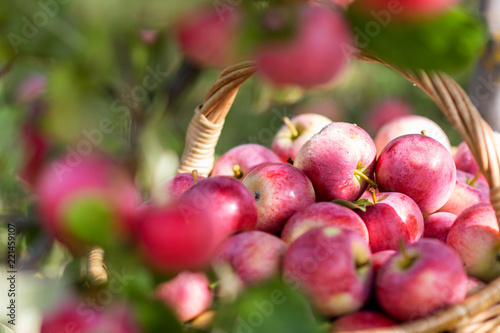 Foto Murales Harvest of the apples in the basket in early morning in the garden, agriculture and food concept