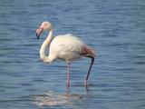 flaming różowy brodzący w morzu o poranku