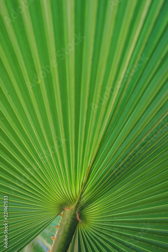 Green natural palm leaves close-up. - 221467553