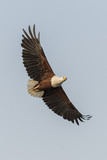 African Fish Eagle - 221473367