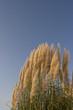 Leinwanddruck Bild - Chinaschilf  Miscanthus sinensis