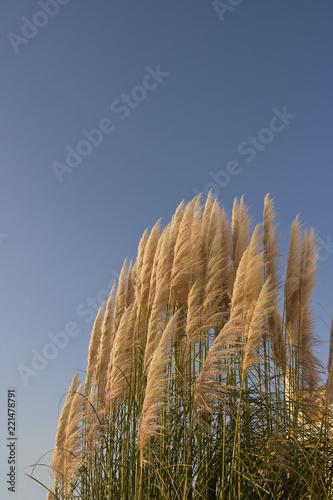 Leinwanddruck Bild Chinaschilf  Miscanthus sinensis