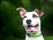 A white and brown Hound / Terrier mixed breed dog with a happy expression