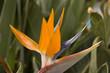 Leinwanddruck Bild - Paradiesvogelblume Strelitzia reginae