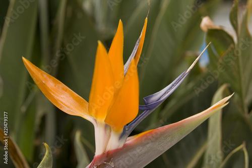 Leinwanddruck Bild Paradiesvogelblume Strelitzia reginae