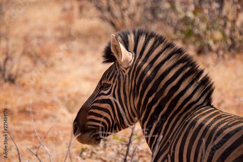 Fototapeta Zebra in Etosha National Park, Nambia