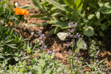 Two white butterflies opposite each other on lilac flower in flowerbed - 221485345