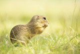 european ground squirrel - 221495762