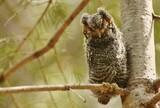 Flammulated owl in Arizona - 221496912