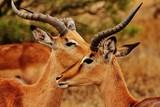 Impala in Kruger National Park - 221498374