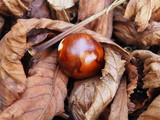Chestnut fruits layed on dried leaves, autumn foliage - 221499173