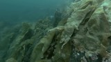 underwater landscape, granite rock overgrown with laminaria and other brown algae  - 221503710