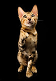 Portrait of young bengal purebred cat on black background.
