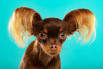 Toy Terrier Dog on Isolated Blue Background in studio © Anna Mandrikyan
