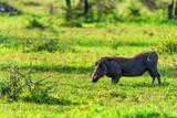 Cute Warthog or Phacochoerus africanus in savannah - 221545987