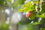Reife Äpfel auf Apfelbaum, Herbst - 221563588