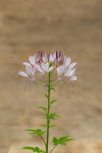 """Постер, картина, фотообои """"Closeup spider flower, Beautiful purple and pink flower"""""""