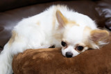 The beautiful chihuahua dog on pillow sofa desk / select focus.