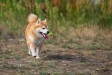 jumping shiba inu in the grass