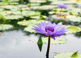 Purple water lily in a pond at Botanical garden
