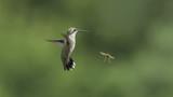 Hummingbird Making Way for a Wasp - 221581747