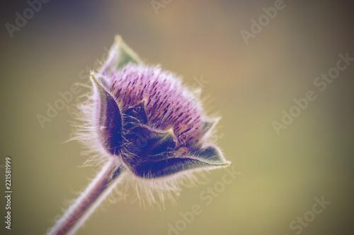 spines of burdock as macro flower - 221581999