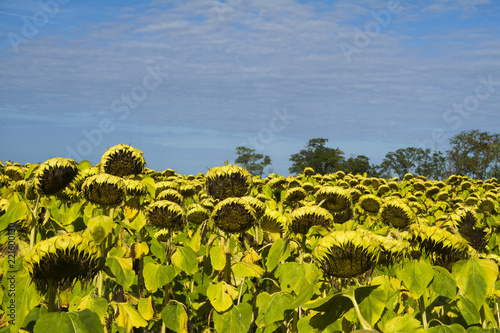 Fototapeta Sunflowers field with sky background.