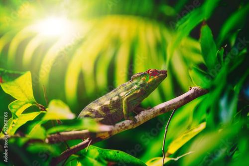 """Kolorowy kameleon o nazwie """"lendormi"""" autorstwa Reunionese, ukryty w roślinności"""