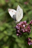 Small white butterfly on a flower