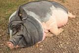 Schlafendes Hängebauchschwein - 221613921