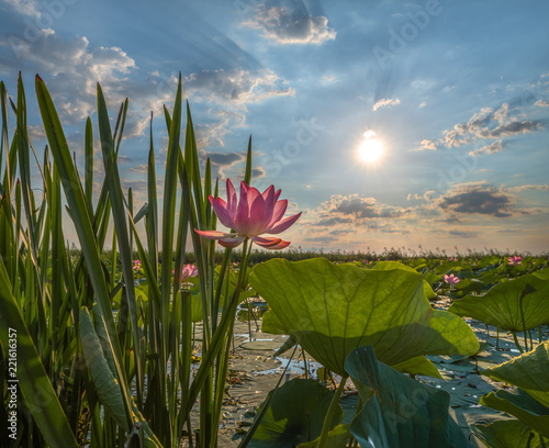 Blooming lotus. A large flower. Summer dawn. A clear, sunny day. The lotus is nut-bearing. The species is listed in the Red Book of Russia. The lower reaches of the river delta of the Volga.