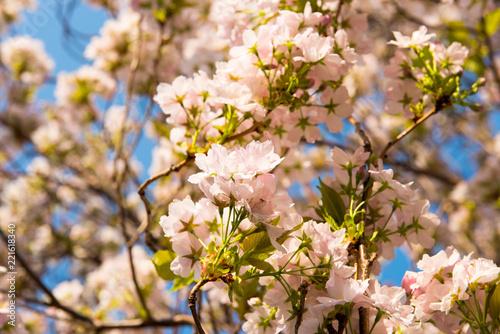 Fototapeta tree of cherry blossoms in spring
