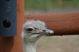 Ostrich in the outdoors - 221619330
