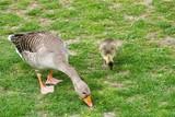 Gosling goose - 221620512