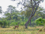 African impala, aerpyceros melampus, Botswana - 221620712