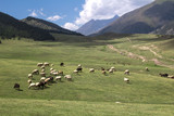 sheep grazing in the alpine meadows in the mountains - 221631970