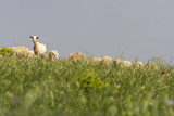Photograph of sheep eating grass in the field - 221635592